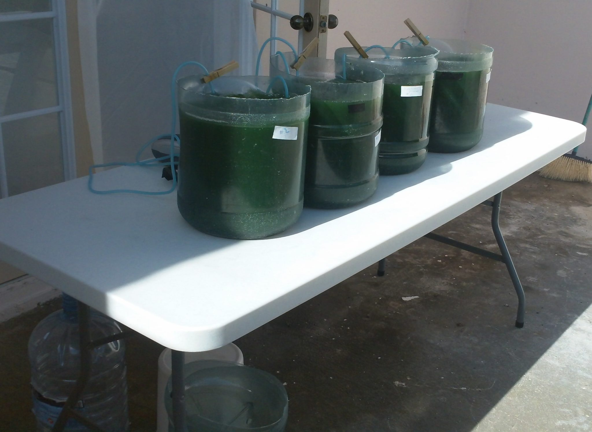 grow spirulina at home in 5 gallon water bottles