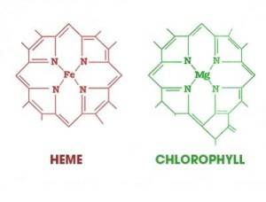 chloro heme