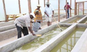 Medicinal Spirulina and immune system  - Spirulina farm in Kenya